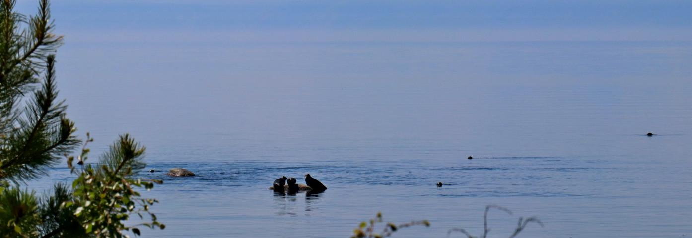 Nerpa - bajkalska foka